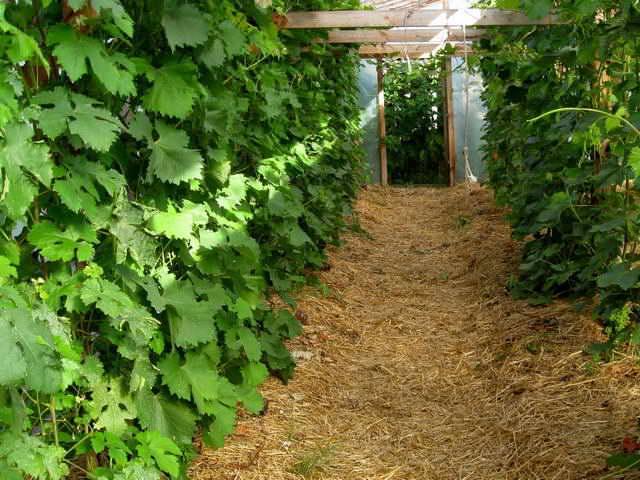 Для поддержания стабильной влажности почвы необходимо проводить мульчирование